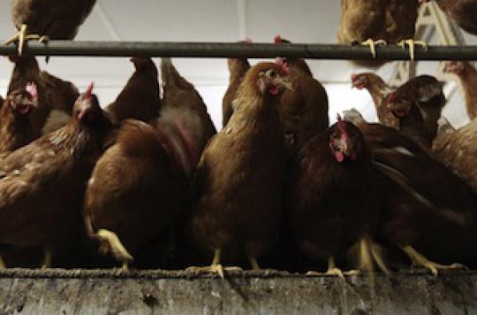 Grippe aviaire : les mesures de précaution s'intensifient en Europe