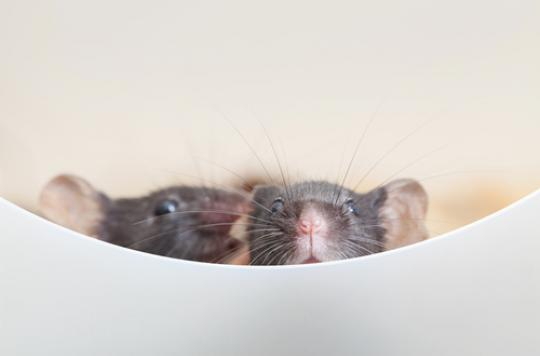 Alzheimer :  restaurer la mémoire avec l'immunothérapie