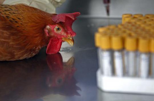 Grippe H7N9 : un risque élevé de transmission interhumaine