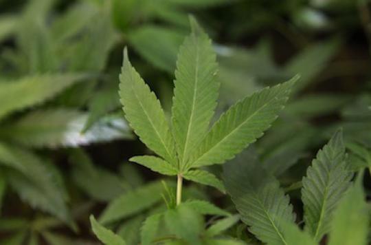 Drogues : l'alcool  bien plus dangereux que le cannabis