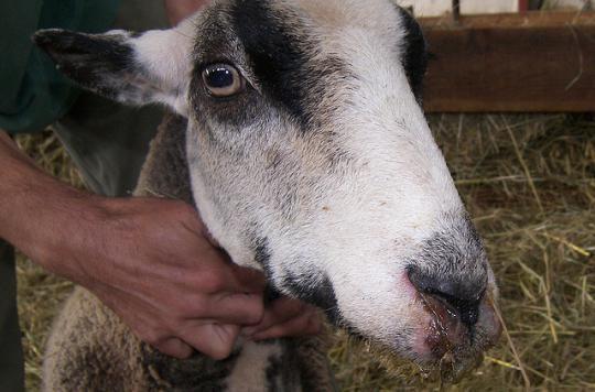 Maladie de la langue bleue : un danger pour l'animal, pas pour l'homme