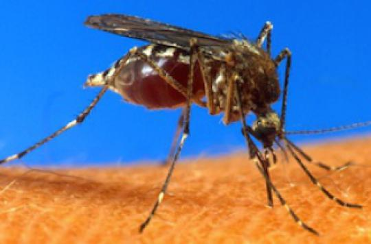 Chikungunya : l'ennemi numéro 1 en Polynésie française