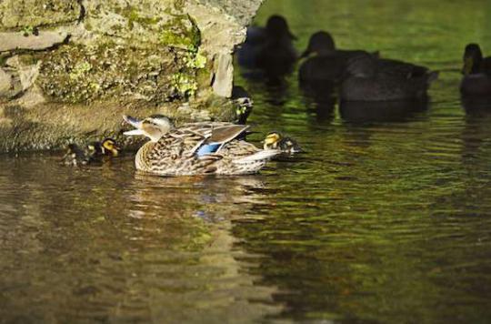 Grippe aviaire :  une nouvelle exploitation touchée en Dordogne