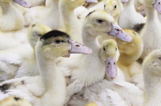 Grippe aviaire : 11 nouveaux foyers recensés dans le Sud-Ouest