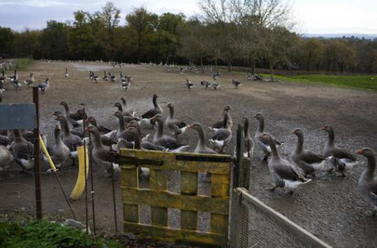 Grippe aviaire : deux nouveaux cas détectés dans les Landes et le Gers