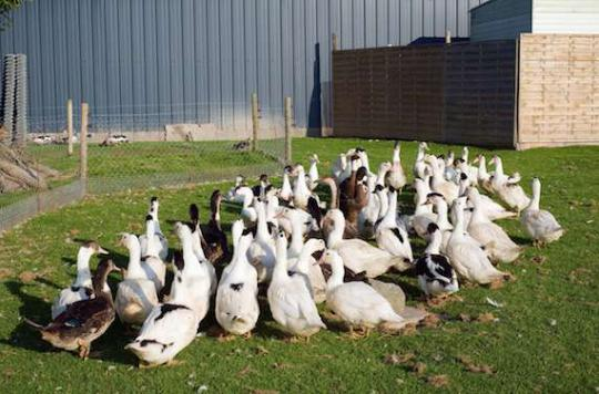 Grippe aviaire : production suspendue dans 4 000 élevages