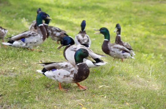 Grippe aviaire : 7 000 canards abattus dans le Tarn