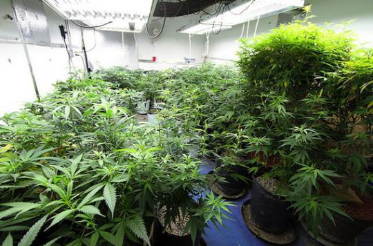 Cannabis : risques et bienfaits évalués par la science