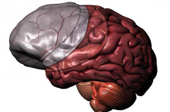 Pourquoi notre cerveau ressemble à une noix