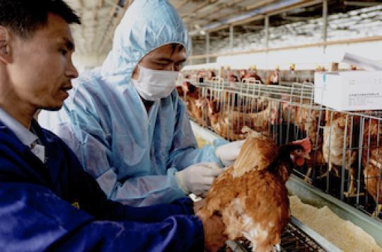 Grippe aviaire : un additif alimentaire pour bloquer le virus