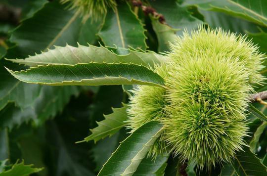 Staphylocoque doré : des feuilles de châtaignier pour le neutraliser