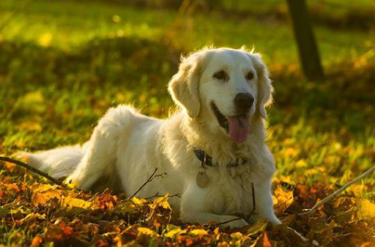 Ces chiens capables de flairer les cancers de la prostate