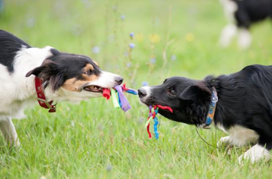Xylitol : un édulcorant toxique pour les chiens