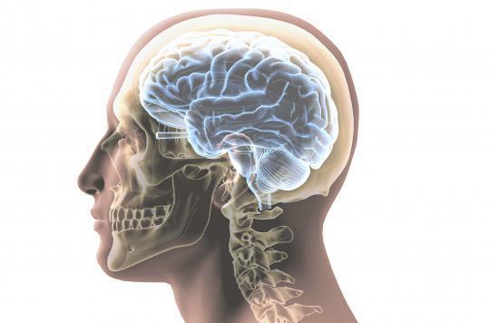 Une greffe de neurones pour réparer le cortex