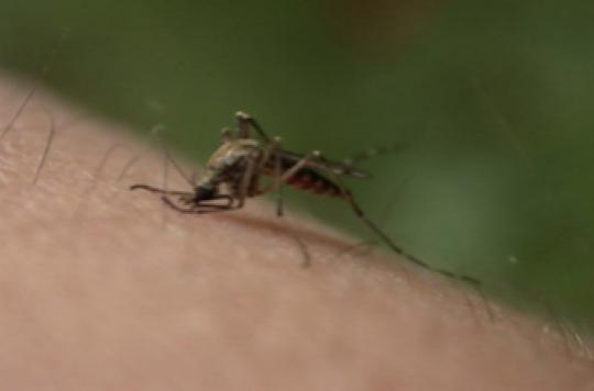 Le chikungunya débarque en Polynésie