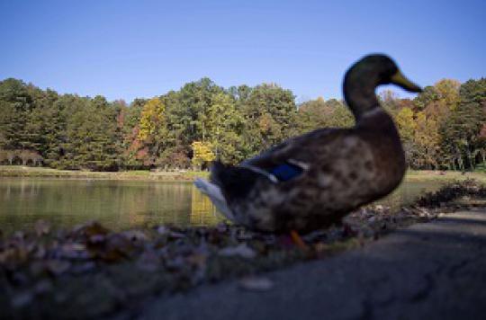 Grippe : la menace des oiseaux résistants au Tamiflu