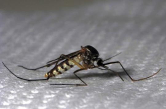 Chikungunya : un 82e cas détecté en métropole