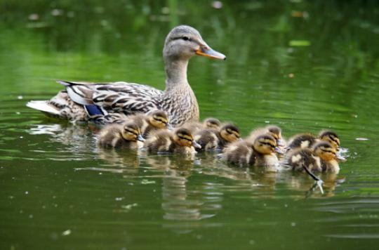 Grippe aviaire : les Deux-Sèvres touchés à leur tour