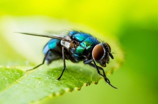 Les mouches pourraient nous éclairer sur nos illusions d'optique !