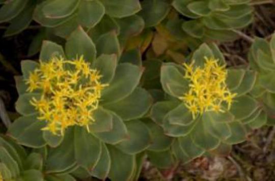 Dépression : Rhodiola rosea doit encore faire ses preuves
