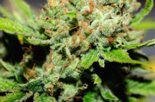 Skunk : une variété de cannabis augmente le risque de psychose
