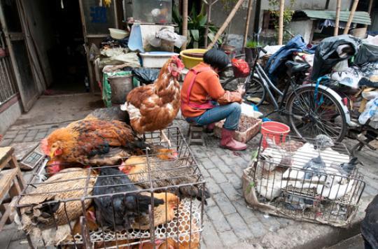 Grippe aviaire en Chine : 40 % des patients  décèdent