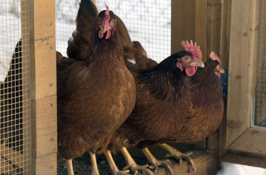 La grippe aviaire gagne l'Afrique de l'Ouest