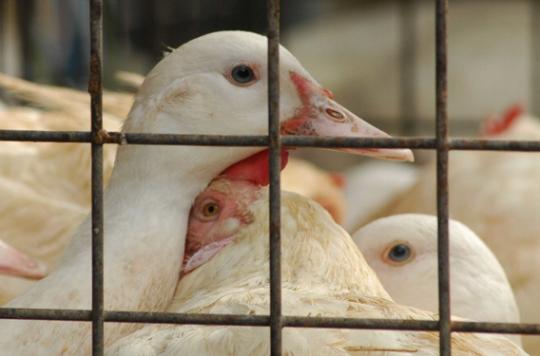 Grippe aviaire : êtes-vous inquiets ?