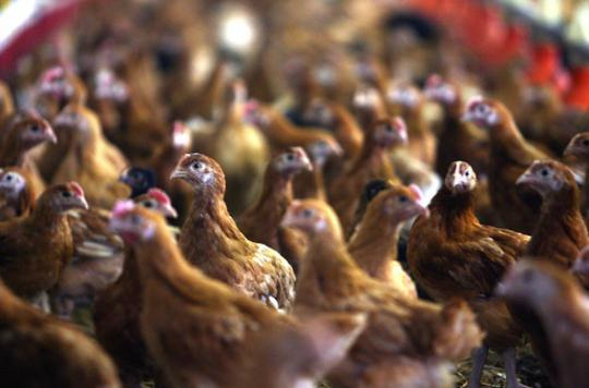 Grippe aviaire : le vide sanitaire durera 1 mois