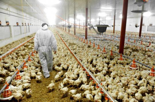 Grippe aviaire : 2 élevages touchés dans le Sud-Ouest de la France