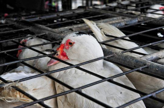 Grippe aviaire : un marchand de canards décède en Chine