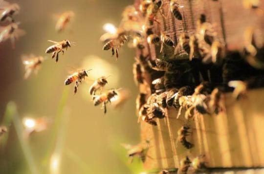 Covid-19 : des chercheurs exercent des abeilles à détecter le virus
