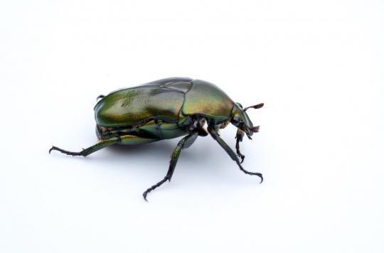 Le coléoptère pour soulager les allergies saisonnières