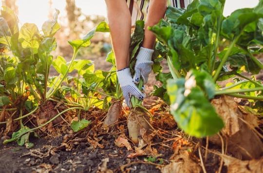Dérogation pour les betteraves : les néonicotinoïdes sont-ils nocifs pour la santé humaine ?