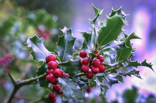Houx, gui : les plantes de Noël peuvent être des poisons