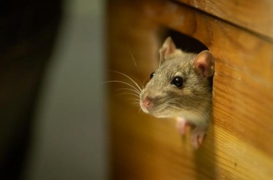 Des souris recouvrent la vue grâce à des gènes \