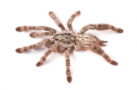 Le venin d'araignée pourrait soigner une forme sévère d'épilepsie chez l'enfant