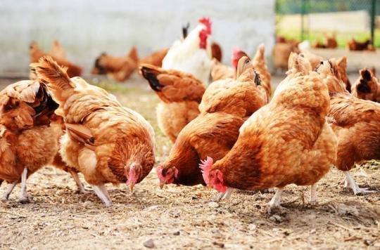 Tarn : un élevage de 185 000 poules soupçonné d'être responsable de 78 cas de cancers