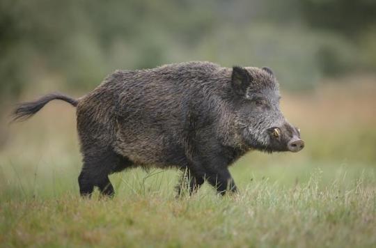 La peste porcine africaine aux portes de la France : quels sont les risques pour les humains ?