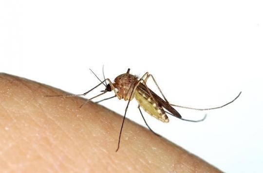 Virus Usutu : comment reconnaître le moustique culex et s'en protéger ?