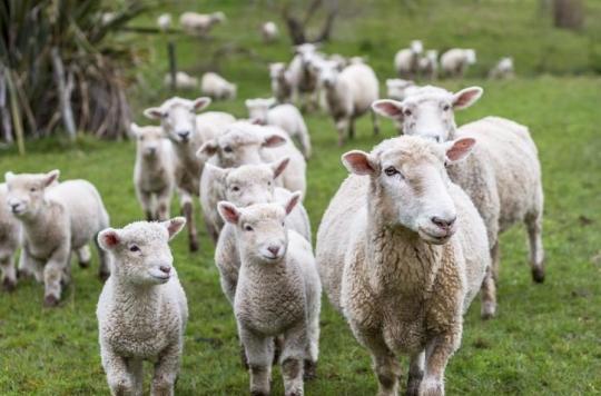 Hautes-Alpes : 50 bêtes tuées par la fièvre charbonneuse, quels sont les risques pour les humains ?