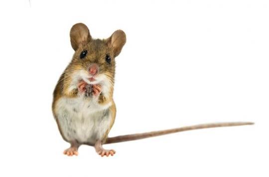 Première naissance d'une souris avec seulement deux mères, les hommes ont du soucis à se faire
