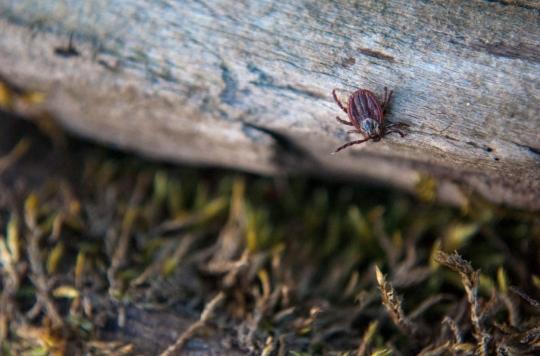 Maladie de Lyme: des chercheurs vont plancher sur un vaccin