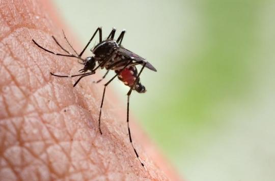 Moustique tigre : pourquoi le chikungunya fait mal aux articulations