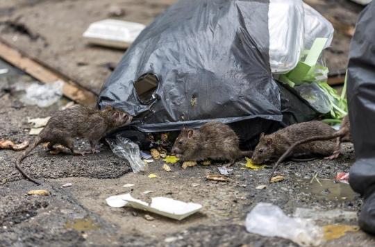 De nouvelles pandémies à venir ? Les rats d'élevage, inquiétant réservoir à virus