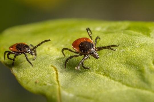 Maladie de Lyme : le printemps est la période d'activité maximale des tiques, comment éviter les morsures ?