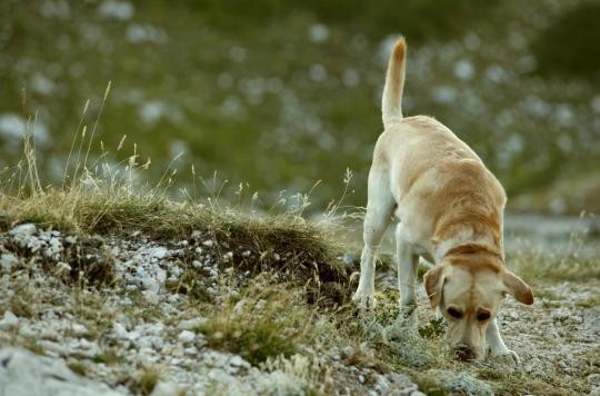 Des chiens et leur odorat pour dépister le cancer du sein ?