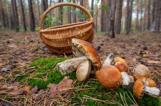 Déjà 87 intoxications pour Octobre — Cueillette des champignons
