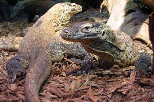 Antibiorésistance : le dragon de Komodo détient la solution