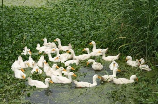 Grippe aviaire : la biosécurité  renforcée dans les élevages